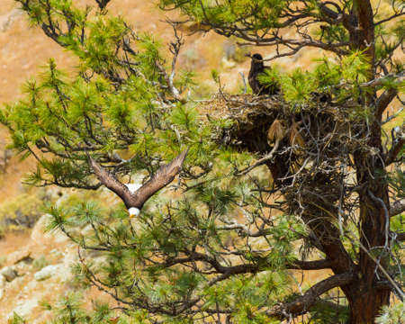 An American bald eagle soars away from nest  photo