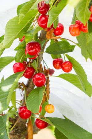 bing: Sweet Bing cherries ripen on tree