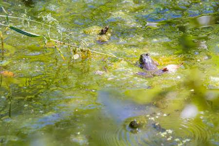 camoflauge: Cascades Frog (Rana cascadae) rests along stream pond edge Stock Photo