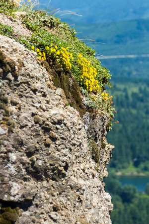 Yellow Flowers Grow From Cliff Atop Rattlesnake Ledge