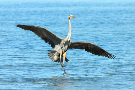 Image sequence of Great Blue Heron in flight in search of food