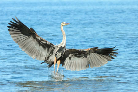 great blue heron: Image sequence of Great Blue Heron in flight in search of food