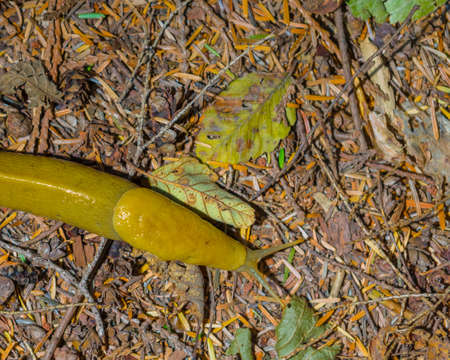 Pacific Banana Slug crawls over pine needles and twigs on forest floor Imagens