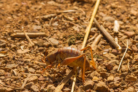 wingless: Large Camel cricket at rest