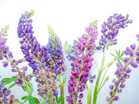 purples: Lupine Wildflower Stems On White Background