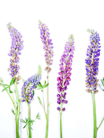 purples: Lupine Flowers On White Background