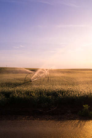 Wheat field getting water during hot summer day