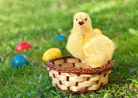 Little chicken in the basket with Easter eggs
