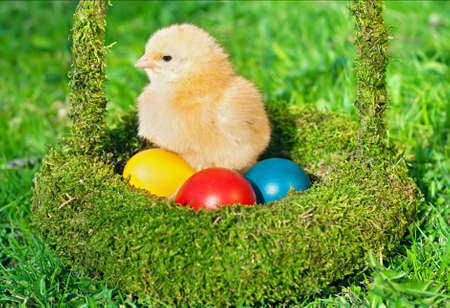 Little chicken with colored eggs in green basket