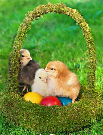 Adorable chickens with colored eggs in the basket