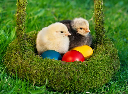 Two adorable chickens with colored eggs are in the green basket Stock Photo