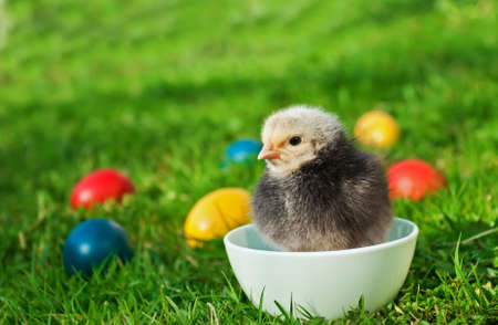 Little chicken with Easter eggs