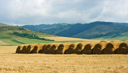 Straw stacks are in line on the field after harvesting
