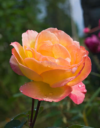 Beautiful rose in the garden Stock Photo