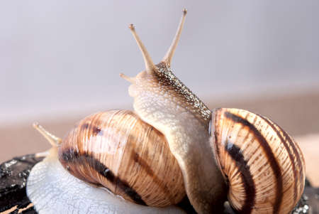 Shellfish, snail by CU on a background Stock Photo - 13385184