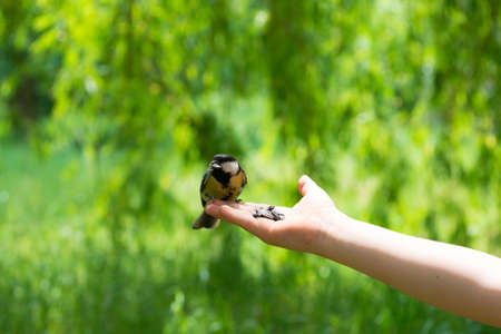 tit bird: Great Tit get a food form a hand. Stock Photo