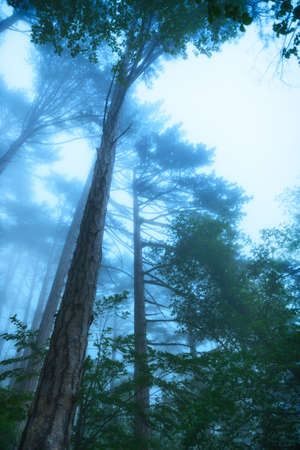 mystical forest: Mystical deep fog in a forest .