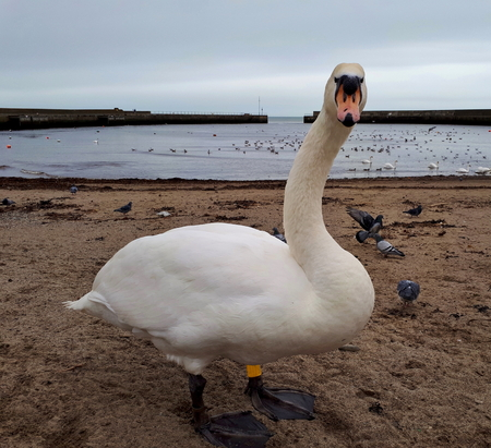 Mute Swan Looking at You Stock Photo