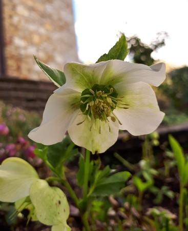 White Helleborus Orientalis Flower Фото со стока - 107281287