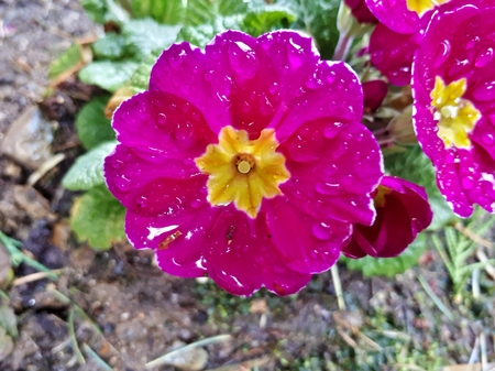 Raindrops on Magenta Primrose Flower 写真素材