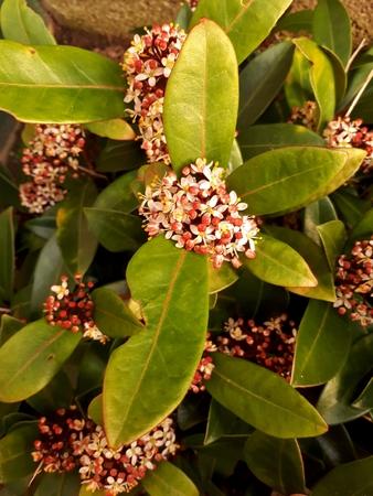 Skimmia Japonica Rubella Flower 写真素材