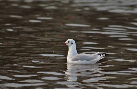Young Black-Headed Gull in the Water