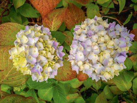 Two White and Purple Hydrangea Flowers