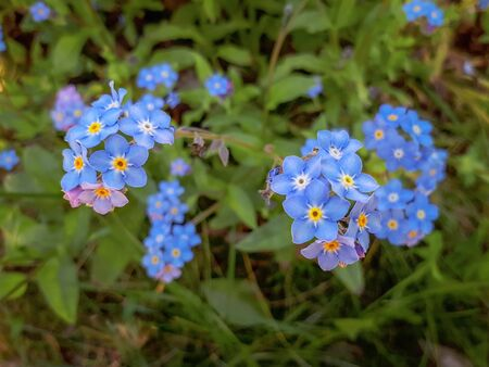 Blue Water Forget-me-not Flowers