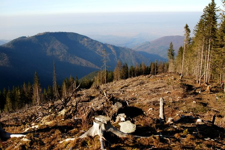 Deforested area in a forest with cutted tree in the foreground.