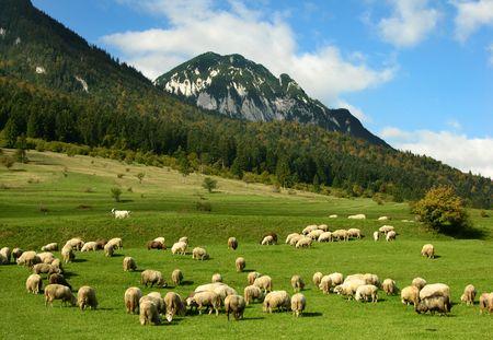 pecora: Paesaggio rurale con pecore nelle montagne carpatiche  Archivio Fotografico