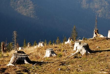 deforestacion: �rea deforestada en un bosque con �rbol cortado en primer plano. Foto de archivo