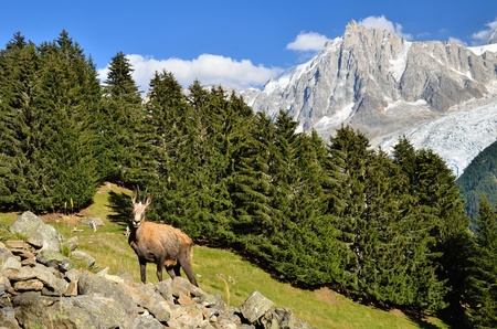 Chamois in Chamonix, France, with Mont Blanc massif in background
