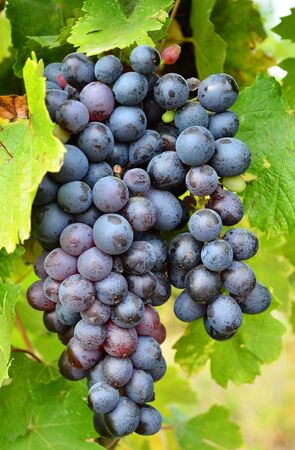 Red grape with green leaf in the vineyard, autumn fruit photo