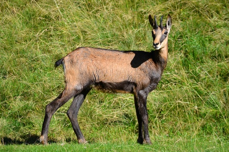 Chamois, alpine goat from Mont Blanc massif of Alps