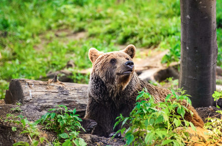 Brown bear from Carpathian Mountains, Romania