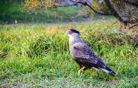 Torres del Paine, Chile. Southern crested Caracara or Carancho, a very common sight throughout Patagonia, Magellan Strait.