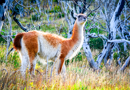 Guanaco. Torres del Paine, Chile - Wild guanaco, a camelid native to Patagonia in South America. Reklamní fotografie