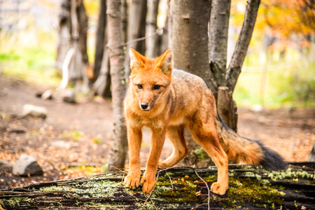 Torres del Paine, Chile - Culpeo, patagonian fox in South America, wild animal in Patagonia.