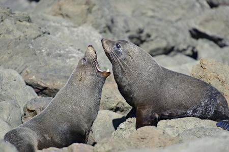 kaikoura: Fighting Fur Seals in a colony along the Kaikoura Coast, South Island, New Zealand.