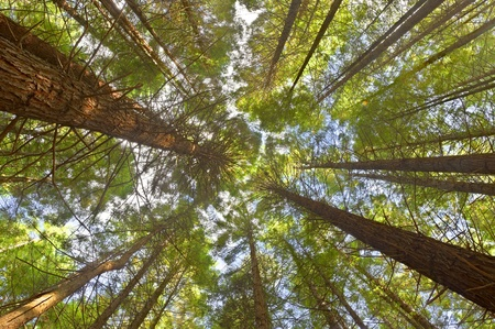 View on the canopy of the Redwoods in Whakarewarewa Forest, New Zealand. photo