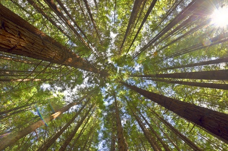 View on the canopy of the Redwoods in Whakarewarewa Forest, New Zealand. Stock Photo