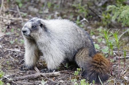 roedor: Roedor, Takakkaw �rea Cataratas, el Parque Nacional Yoho Foto de archivo