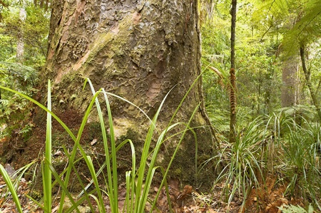 Kauri trunk and forest surroundings in Trounson Kauri Park, North Island, New Zealand.