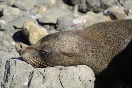 kaikoura: Resting fur seal at the Kaikoura Coast, South Island, New Zealand.
