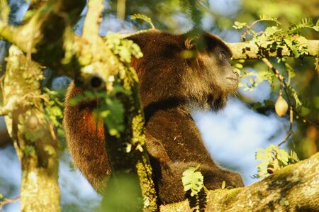 howler: Howler Monkey in a tree at La Ensenada, Costa Rica