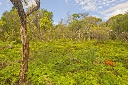 ワイポウア ・ カウリ森林, 新しいニュージーランド 写真素材