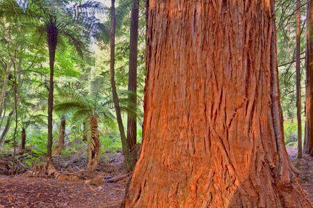redwood: Redwood Tree Stock Photo