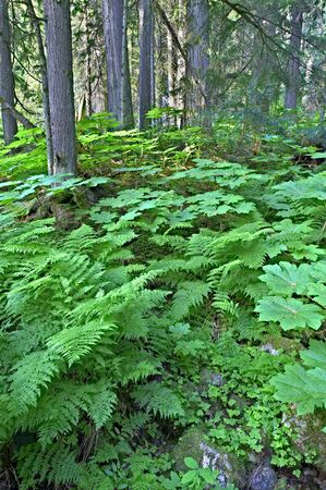 Lush green cold rain forest in Mount Revelstoke National Park, Canada. Stock Photo