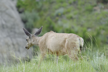 Deer wandering around between the badlands of Dinosaur Provincial Park, Alberta, Canada