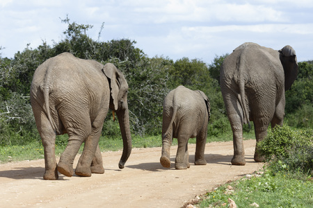 African Bush Elephant family, Addo Elephant National Park, Eastern Cape, South Africa Stock Photo